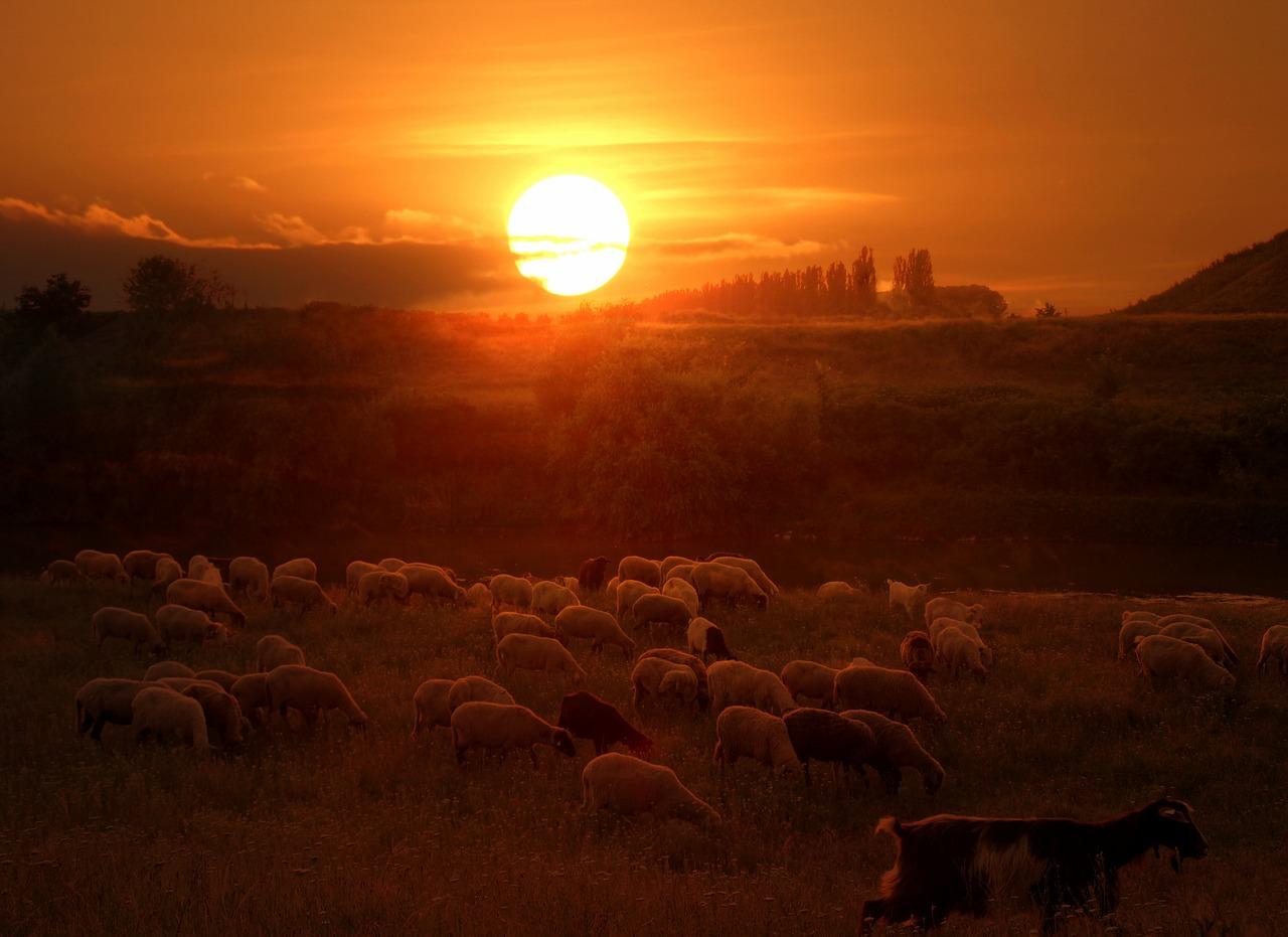 romantika při pasení ovcí