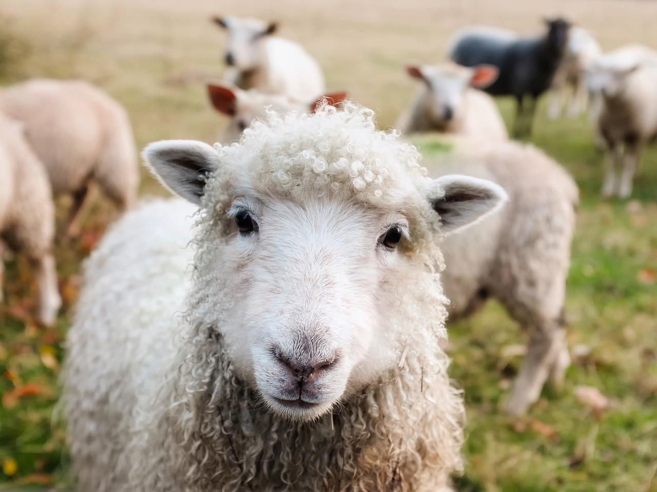 originální dárek pro ženu pasení ovcí